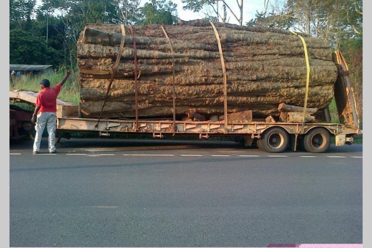Kévazingo : un bois précieux très prisé en Asie