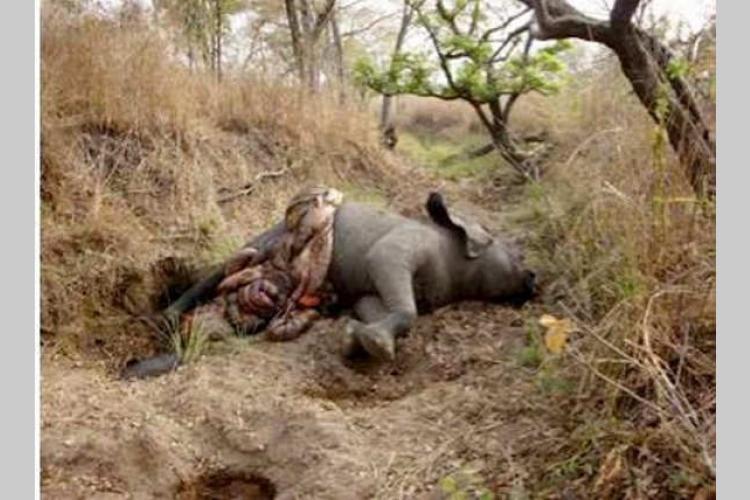 Protection de la nature : Les éléphants en danger critique d'extinction
