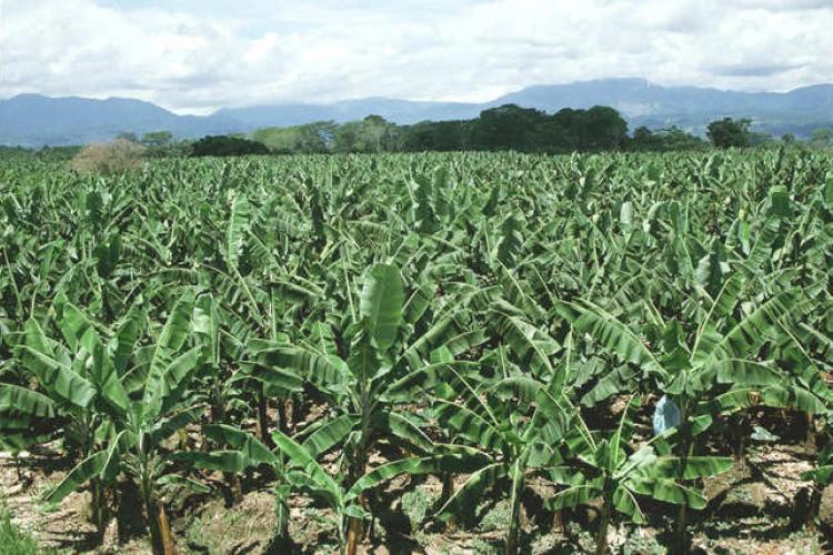 Gabon vert : La culture du bananier pour assurer l'autonomie alimentaire`