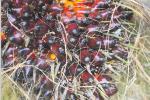 Aviculture : la boue d'huile de palme pour nourrir la volaille